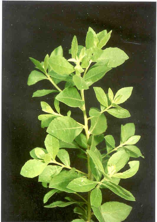 Usefulness beluntas (Pluchea indica )