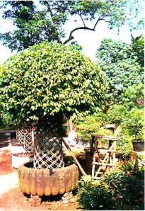 dijual-bonsai-beringin