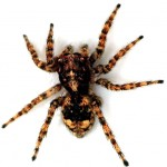 spiders-go-for-violent-but-effective-sex-150x150