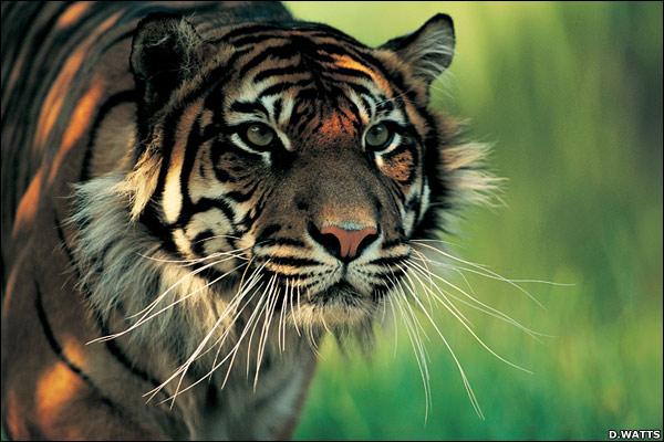 harimau sumatra, harimau, gambar macan, gambar harimau
