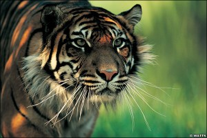 harimau-sumatera1