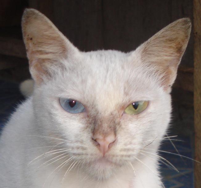 Langka Kucing Ini Matanya Berbeda Warna Biru Dan Kuning Dream Indonesia