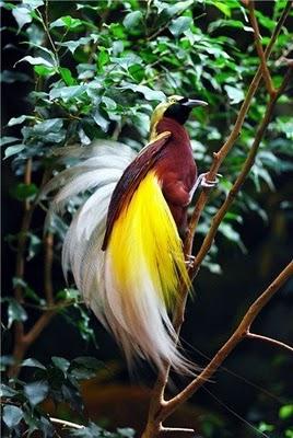 Mengenal Burung Surga Yang Tidak Mempunyai Kaki Dari Indonesia