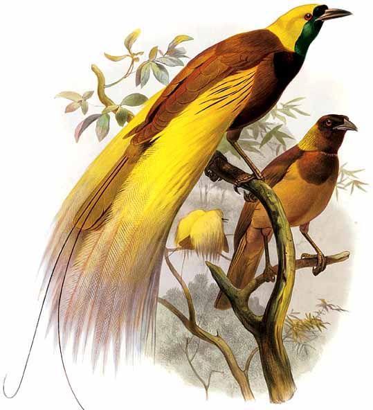 Burung Cendrawasih Dream Indonesia