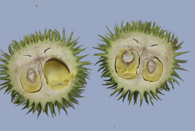 durian teretung