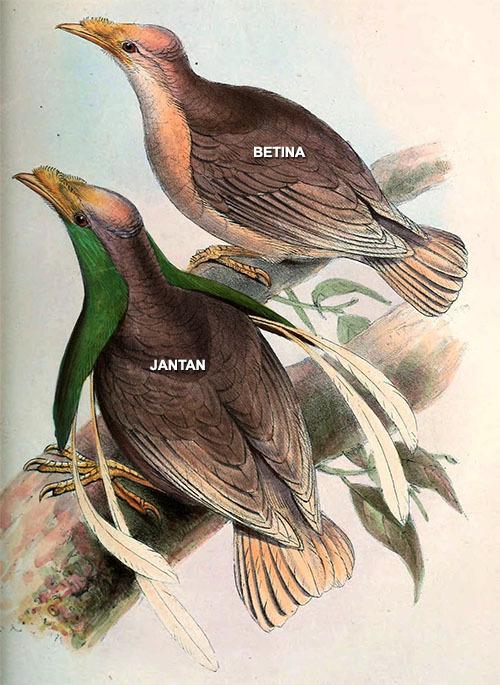burung-bidadari-halmahera-jantan-dan-betina