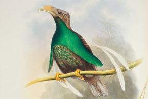 burung-bidadari-halmahera