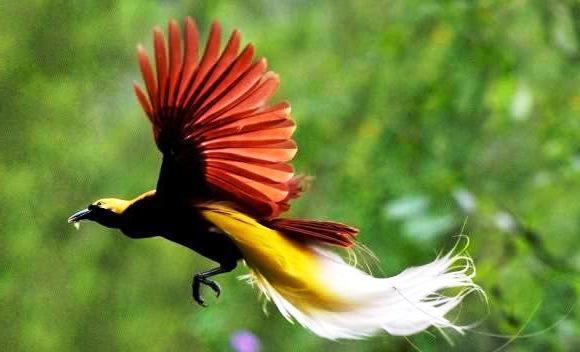Gambar-Burung-Cendrawasih-Yang-Terbang