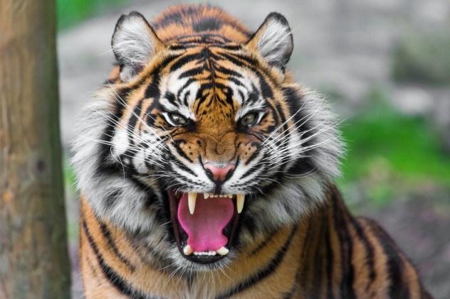 tiger-e1373362574890
